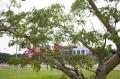 Clone da Árvore Grande na Uniso - Paulo Ribeiro/Uniso-Arquivo