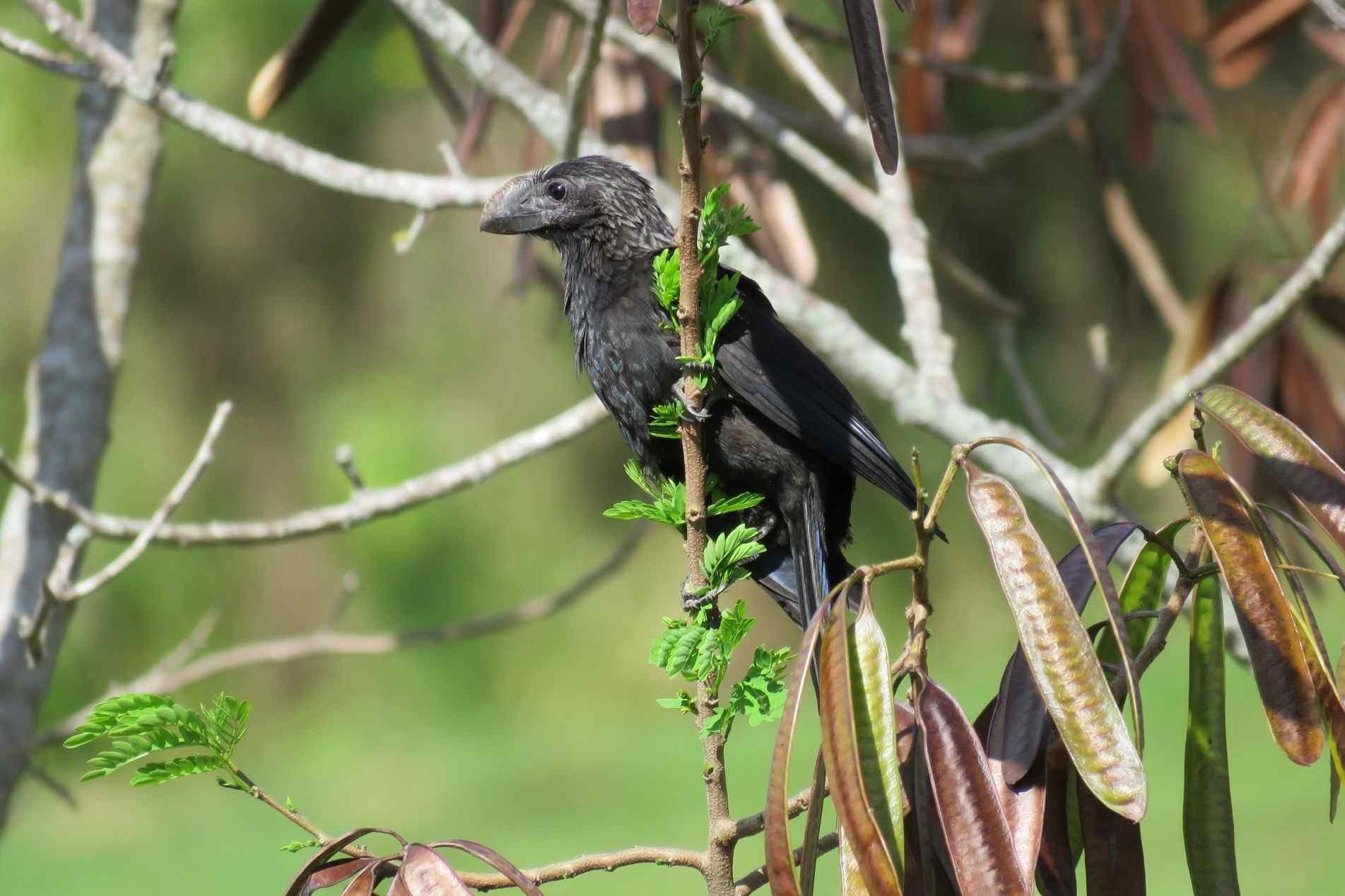 Na reprodução, os anus-pretos têm um comportamento muito interessante, chamado de ajudantes de ninhos.